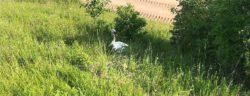 Die Schwäne wurden abseits der Fahrbahn wieder frei gelassen - hier einer der Elterntiere