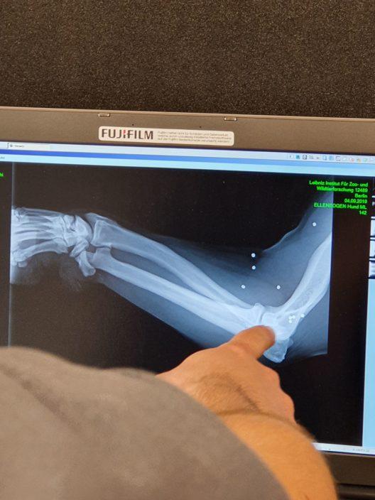 Das Röntgenbild zeigt: Die Geschosspartikel stecken noch drin (Bild: © BÄRENWALD Müritz)