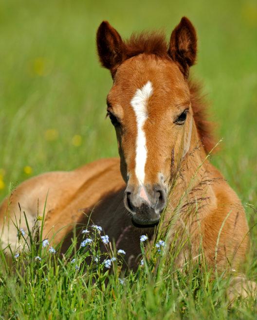 Die passende Weide für das Fohlen auswählen (Bild: kyslynskahal - shutterstock.com)