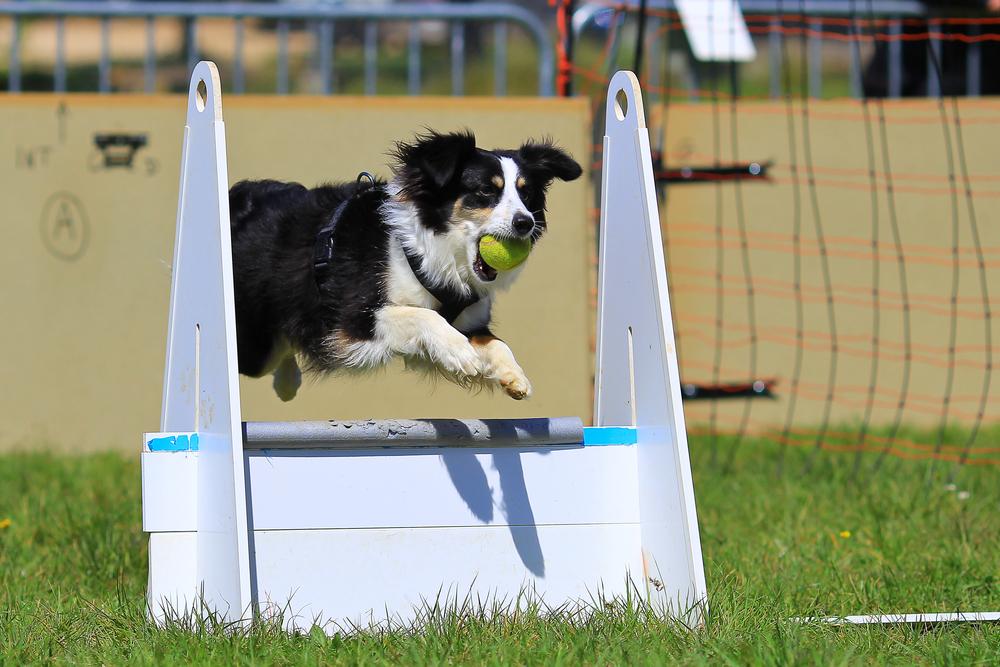 Hund beim Flyball