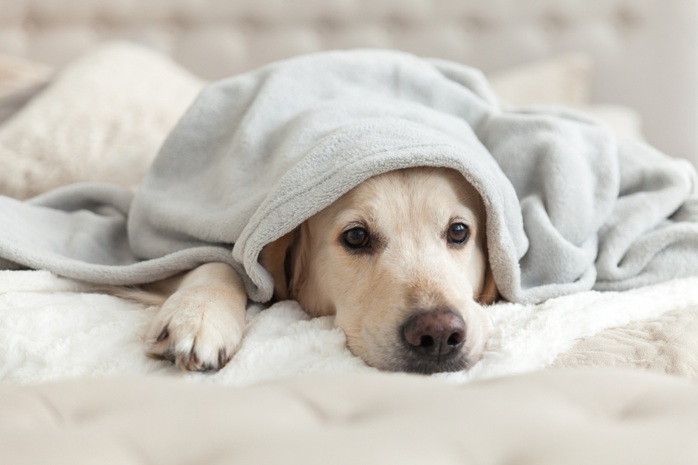 Langer, goldener Retrievalhund unter hellgrauem Pflaumen.