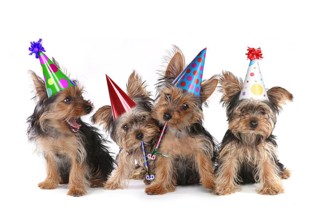 Happy Birthday-Thema Yorkshire Terrier-Welpen auf Weiß singen