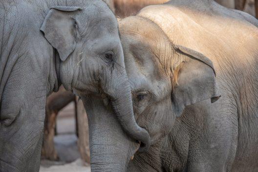 Farha (r.) mit ihrer ersten Tochter Ruwani (Bild: Zoo Zürich, Enzo Franchini)