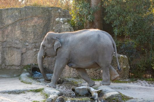 Farha (Bild: Zoo Zürich, Enzo Franchini)
