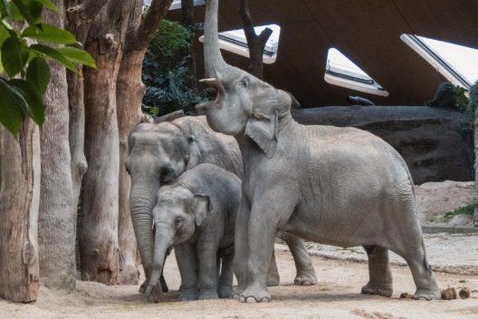 (v.l.) Ceyla-Himali, Ruwani, Farha (Bild: Zoo Zürich, André Siegenthaler)