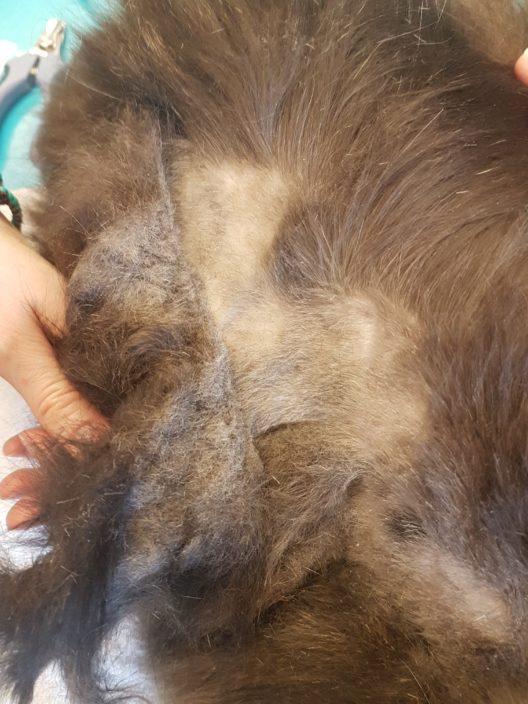 Kleine Verfilzungen werden mit der Zeit zu riesigen Platten, unter denen die Haut juckt und sich entzündet. Manche Tiere sind unter den Filzplatten wie gefangen und können sich kaum mehr bewegen.