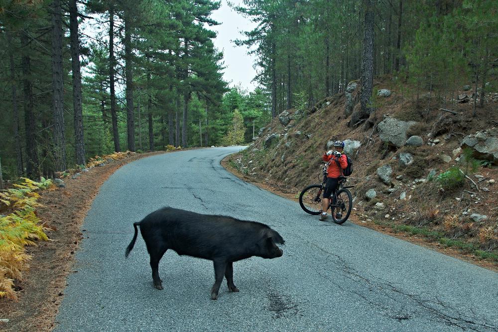 Korsika-Blick auf den Radfahrer und das Wildschwein auf der Straße