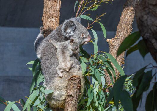 Koala Pippa mit ihrem Jungtier. (Bild: © Zoo Zürich, Albert Schmidmeister)