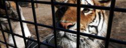 Investigation into Tiger Mafia.