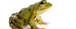 Common,Water,Frog,In,Front,Of,A,White,Background