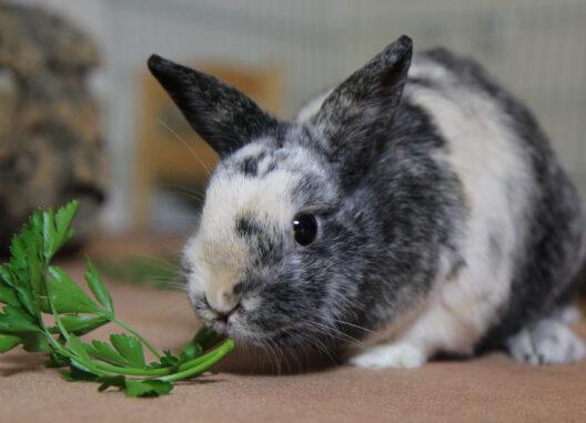 Kaninchen frisst Gras. (Bild: © Christina Schreier)