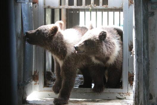 feature post image for Drei für Selfies ausgebeutete Bärenjungen in Ukraine gerettet